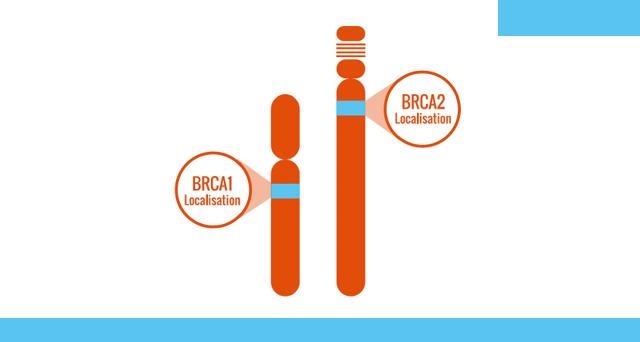 11- Altération des gènes BRCA1 ou BRCA2 quels risques